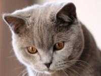 Все о породе британских кошек