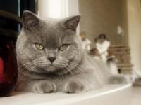 Какой характер у британских котов— должен знать каждый