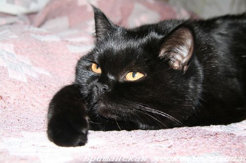 black_brit_cats_photo_12[1]