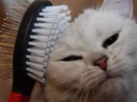 Если сильно линяет британская кошка, что делать в этом случае?