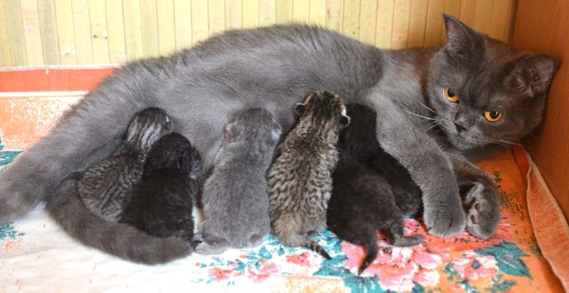 cat-with-kittens-624x322[1]