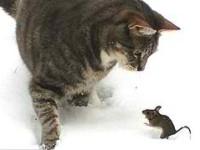 Узнайте— ловят ли британские кошки мышей?