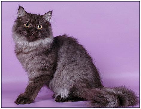 info-british-cats2_clip_image017[1]