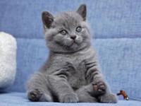 Правильный уход за британским котенком