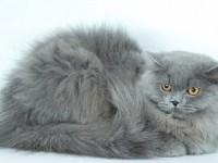 Британский длинношерстный кот— описание породы