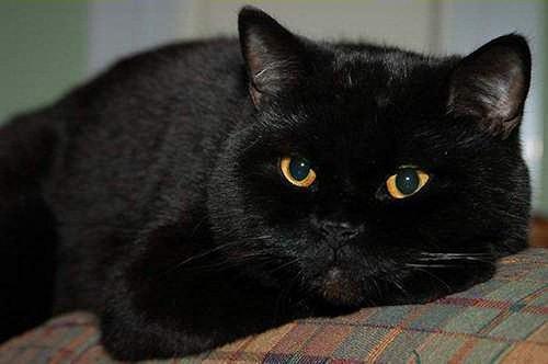 Фото котов черных британцев