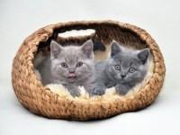 Как ухаживать за британскими котятами?