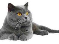 Характер британской кошки— описание породы