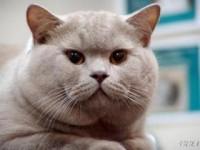 Голубой британский кот— чистый Великобританец